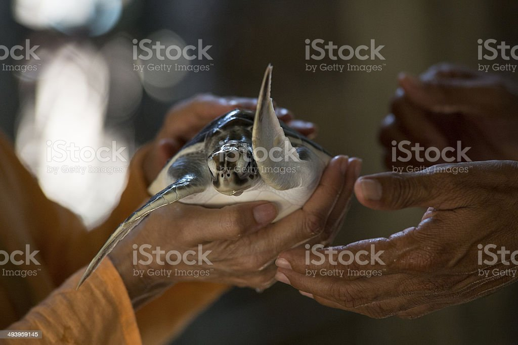 Turtle Smuggling stock photo