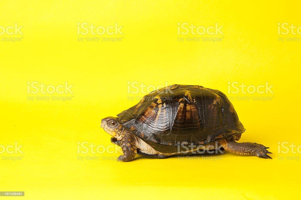 Turtle du ein Rennen – Foto