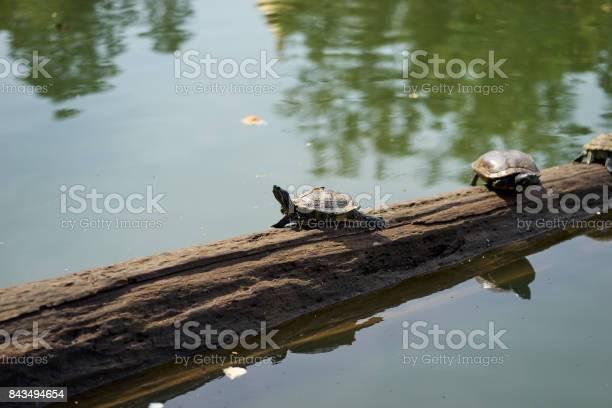 Turtle sunbathe on the log in green lake picture id843494654?b=1&k=6&m=843494654&s=612x612&h=twosulazhqctzgalvnkgl bydvandm06 l cexxsvsg=