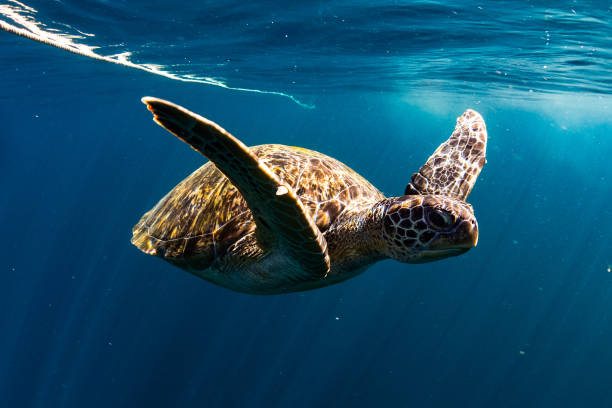 turtle swim in blue sea - tartaruga comune foto e immagini stock