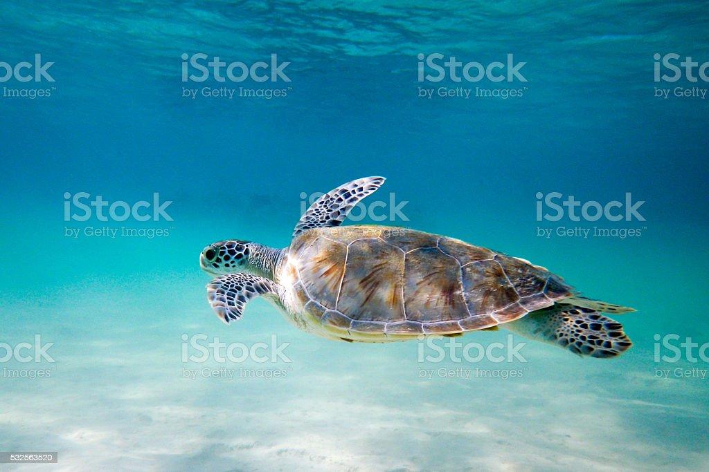 Turtle swimming in lagoon stock photo