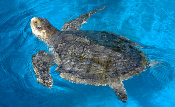 Turtle swimming in tank stock photo