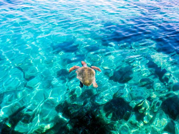 schildpad zwemmen - leatherback stockfoto's en -beelden