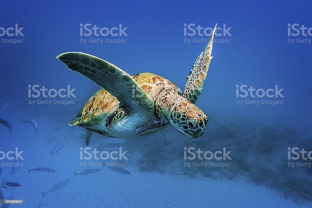 Turtle swimming underwater in Barabados stock photo