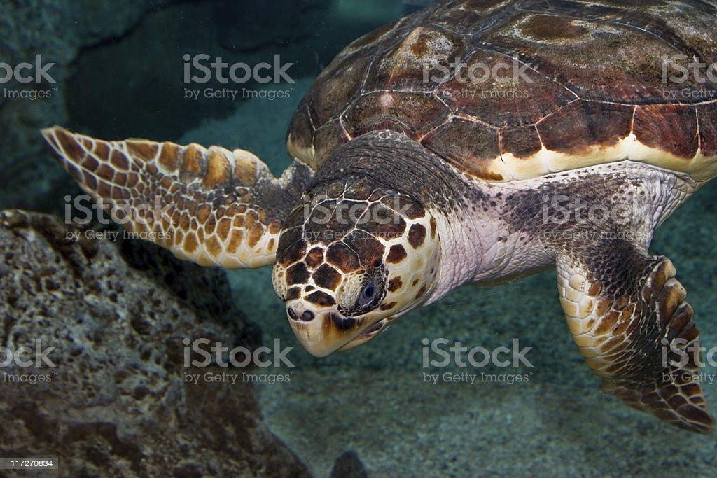 Turtle swimming underwater stock photo