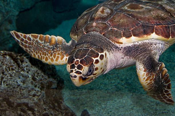 Turtle Schwimmen unter Wasser – Foto