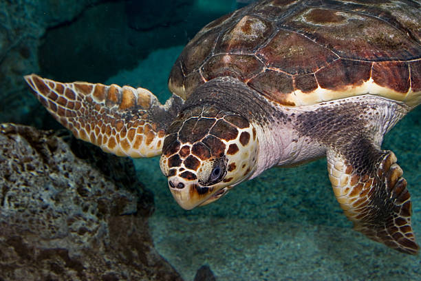 turtle swimming underwater - leatherback mouth stockfoto's en -beelden