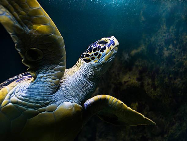 Turtle swimming underwater picture id600695668?b=1&k=6&m=600695668&s=612x612&w=0&h=qkezxpsmvliqvcynrtaeknpozgght9otuei7uabppku=