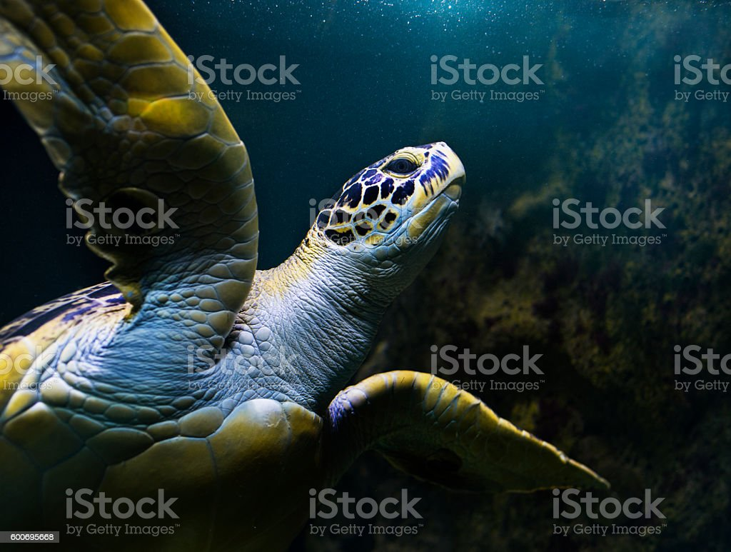 turtle swimming underwater stock photo