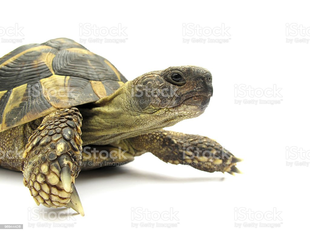 Turtle Testudo hermanni tortoise royalty-free stock photo