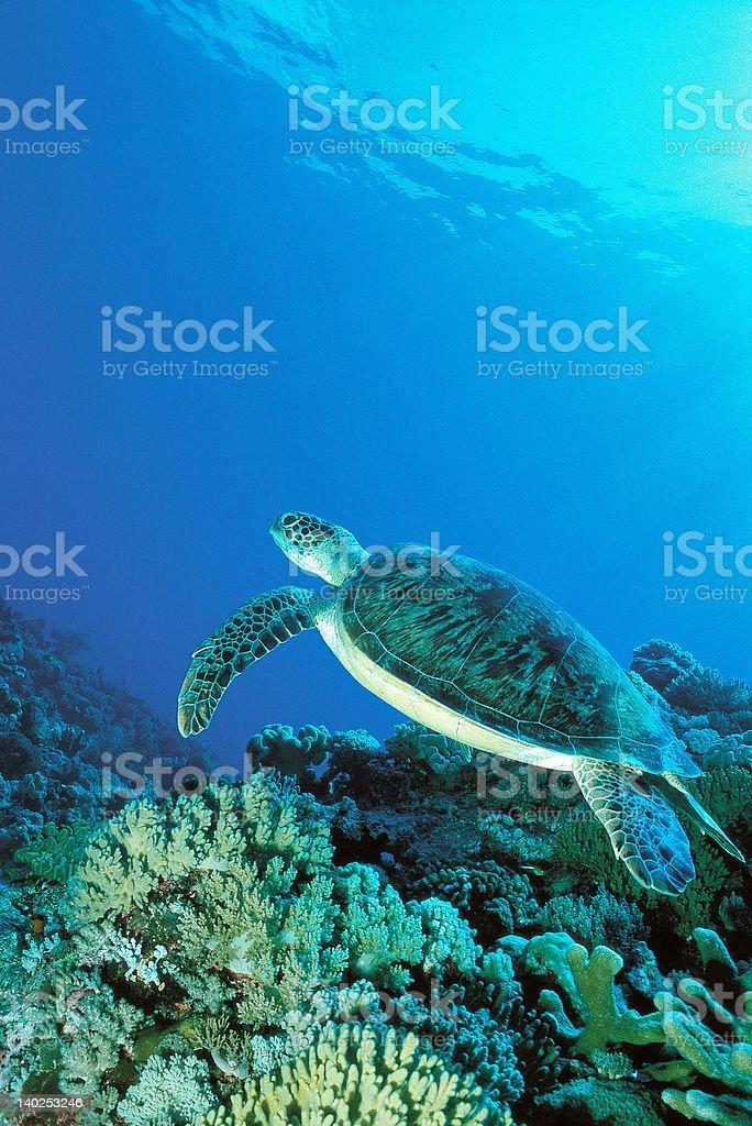 Turtle underwater near coral stock photo