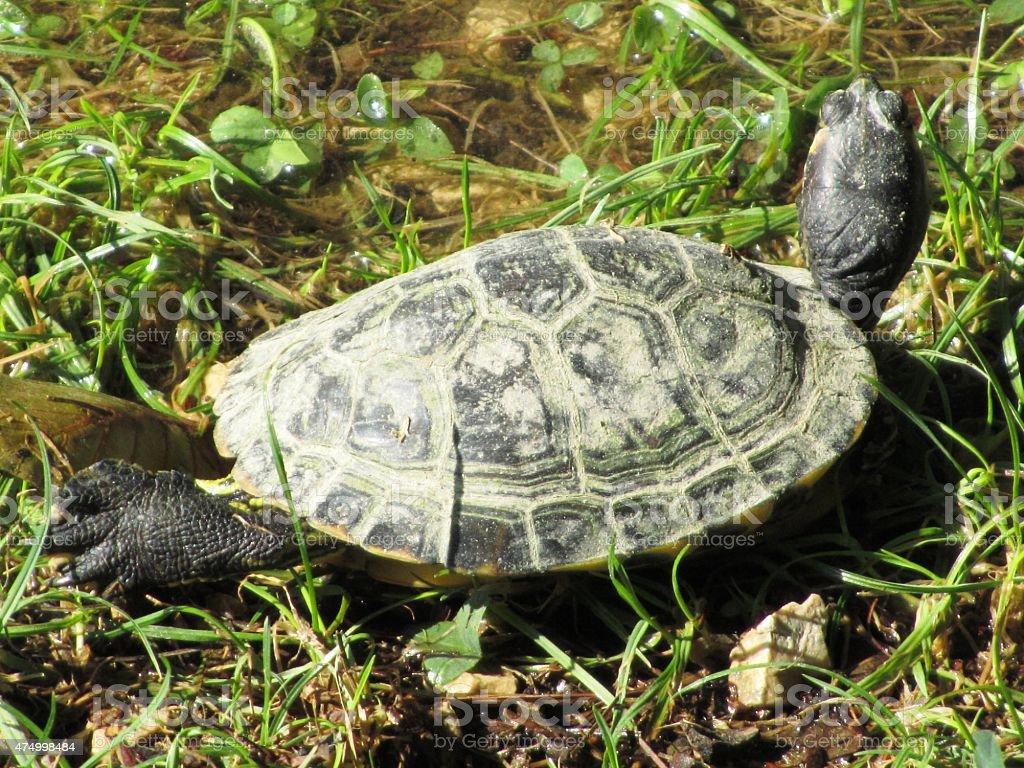 Turtle, underwater turtle in Verona in Italy stock photo
