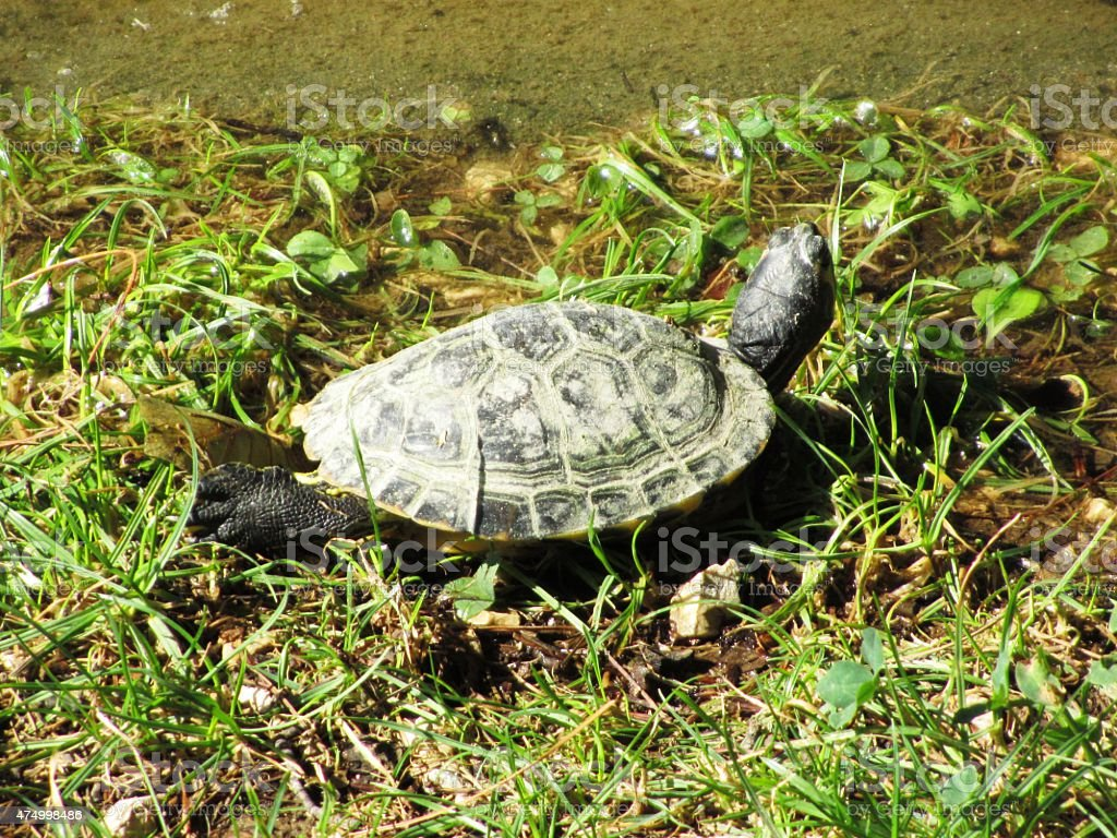 Turtle, underwater turtle in Verona in Italy stock photo