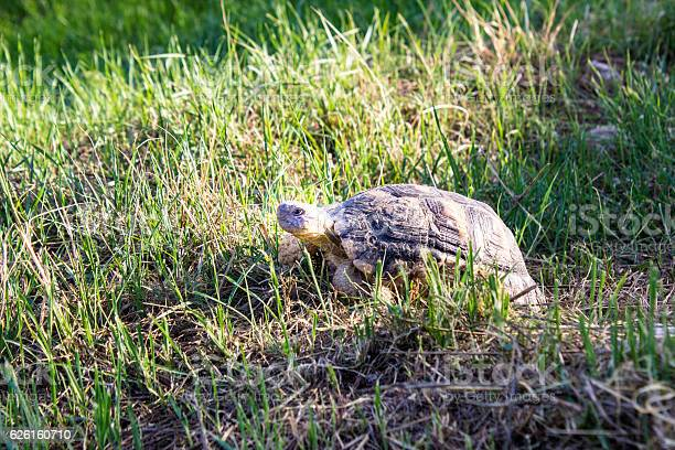 Turtle walking in the grass picture id626160710?b=1&k=6&m=626160710&s=612x612&h=juwlt9v8 hjyc956nlxtcixpn65vkm4rtrm5jqwjakg=