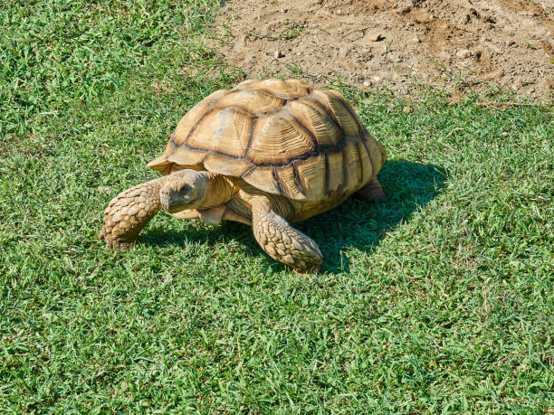 Turtle walking meadow stock photo