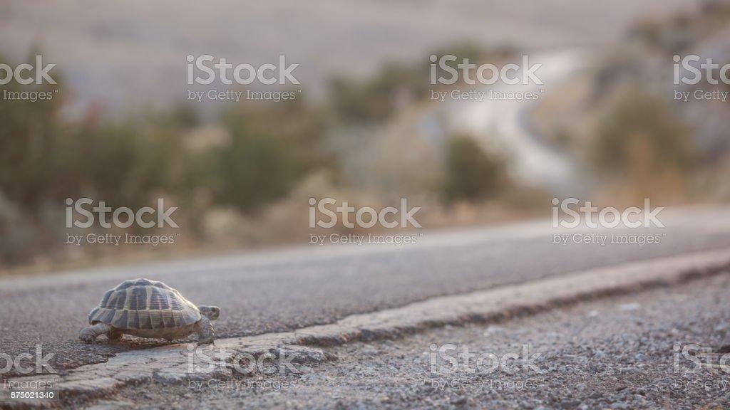 Turtle Walking On Single Lane Country Road Asphalt stock photo
