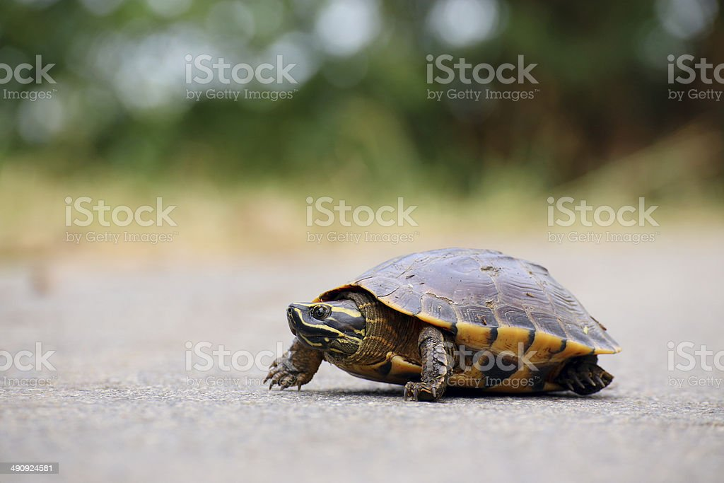 Turtle walking on the way stock photo