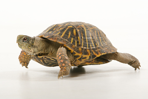 Box turtle going for a walk.
