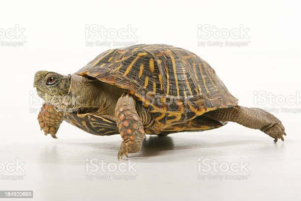 Turtle walking picture id184920665?b=1&k=6&m=184920665&s=612x612&h=121bydalnhergqvykp6ejkcneykk eet2k2intr37rk=