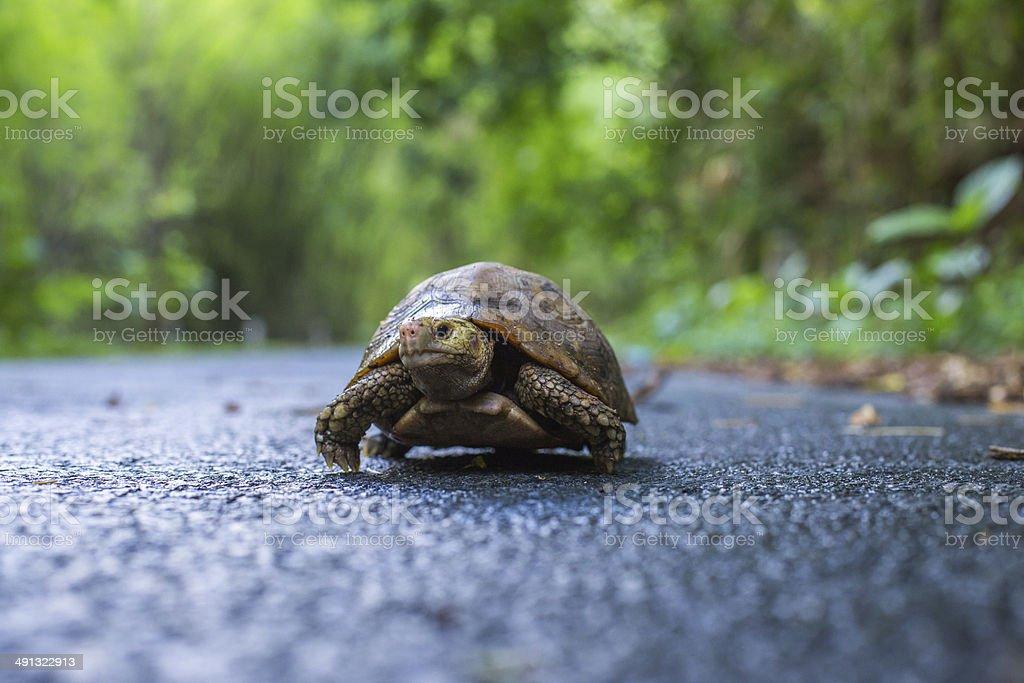 turtle walking stock photo