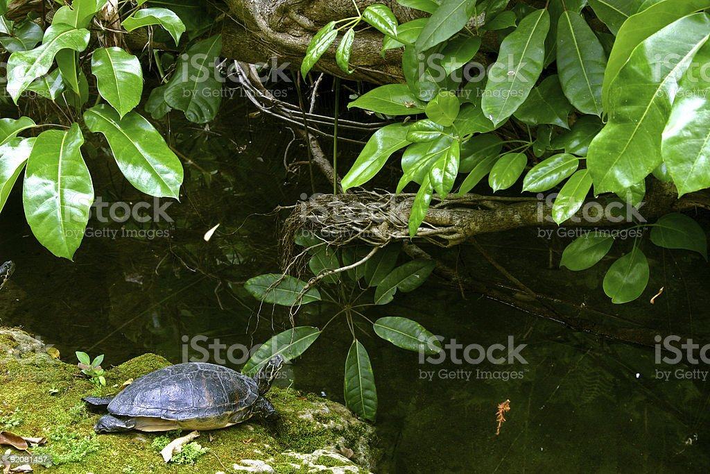 Turtle warming up royalty-free stock photo