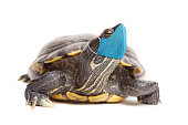 A red eared slider turtle isolated on white wearing a protective face mask during a pandemic.