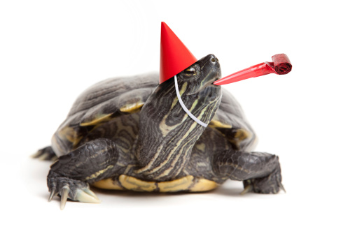 An isolated red-eared slider turtle ready for a party.