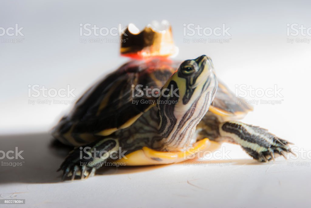 Turtle with a crown fairy tale fantasy stock photo