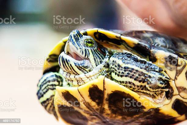 Turtle with his mouth open picture id469174752?b=1&k=6&m=469174752&s=612x612&h=mffotgnvmivv9brc aarhpxbwfiesn0adhahttptdf0=