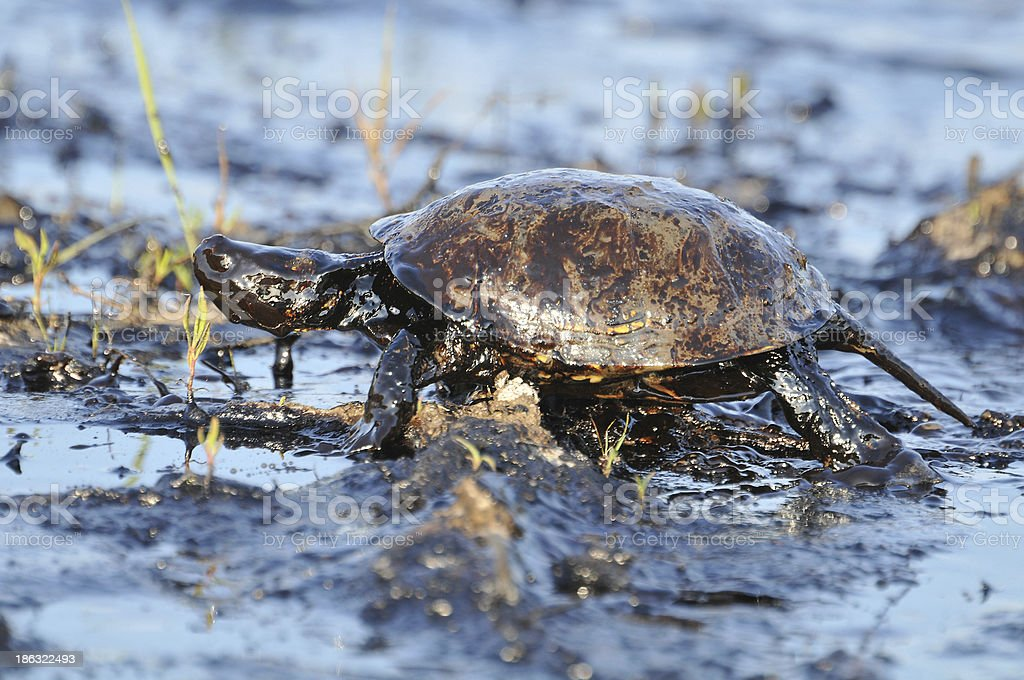 Turtle with petroleum stock photo