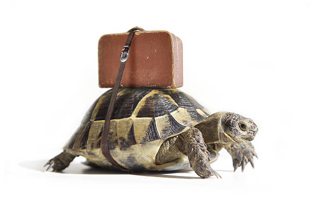 Turtle with suitcase. stock photo