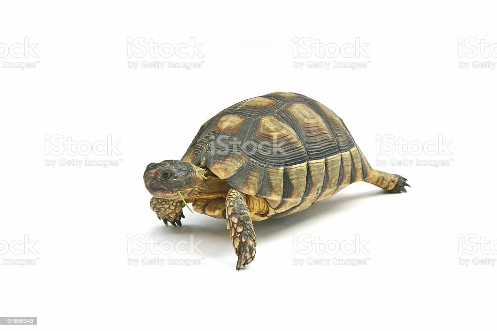 Turtle1 royalty-free stock photo