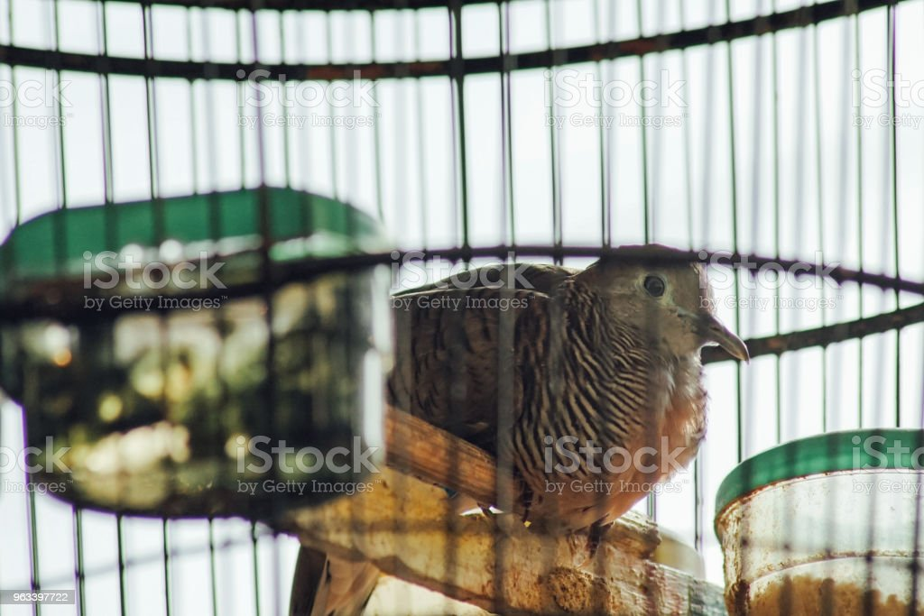 Turtledove Ptak na klatce (Perkutut) - Zbiór zdjęć royalty-free (Balkon)