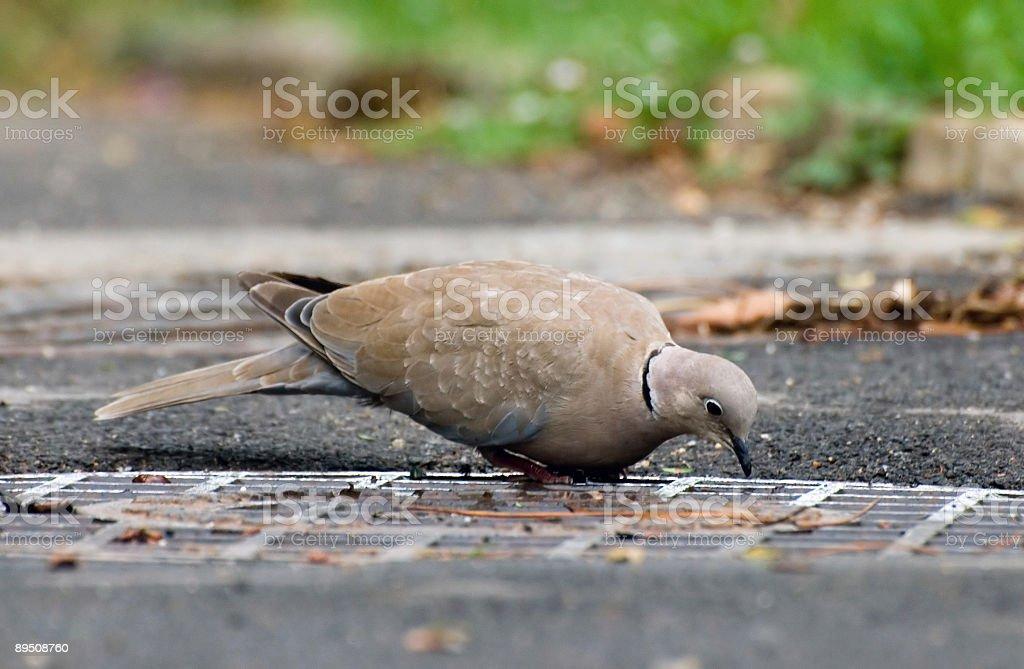 Turtledove royalty-free stock photo