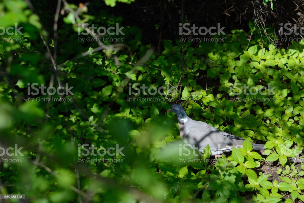 Turtledove sitting on the grass in back side stock photo