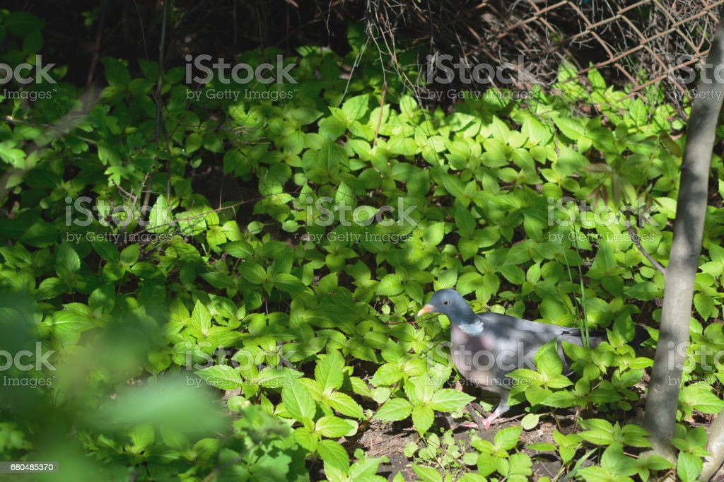 Turtledove sitting on the grass stock photo