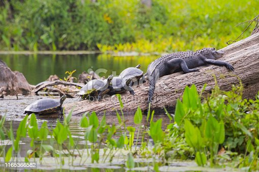 Turtles and Alligator in Northern Florida