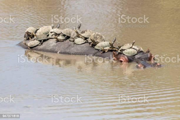 Turtles and hippo picture id947371818?b=1&k=6&m=947371818&s=612x612&h=wz4avcblwz0244uwnc19lwfdova93u6yxxjwhbizrme=