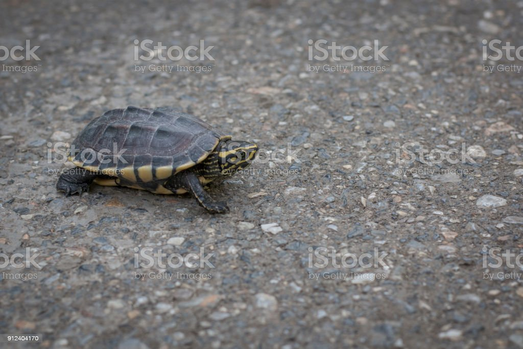 Turtles are walking on the road stock photo