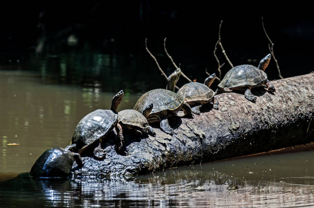Turtles at Tortuguero National Park Turtles in line on a tree trunk at Tortuguero National Park limoen stock pictures, royalty-free photos & images