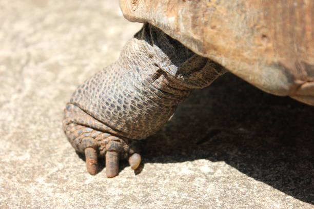 Turtles foot picture id871996820?b=1&k=6&m=871996820&s=612x612&w=0&h= cu5cw2i5wx0ubppbxs4mhsofryfjmape8mi2e6741k=