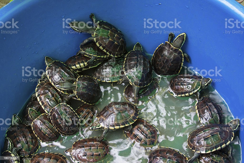 Turtles in the blue bin. stock photo