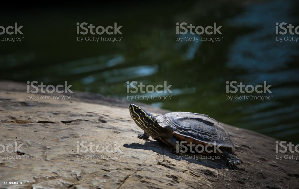 Turtles on rock in park. stock photo