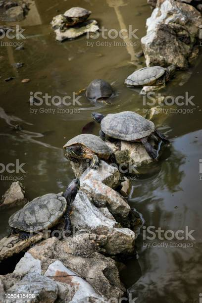 Turtles on stone in pool picture id1056415426?b=1&k=6&m=1056415426&s=612x612&h=ykb6bk13bzx41ats3fszwilvpjnw7phjydg6qi6cz2k=