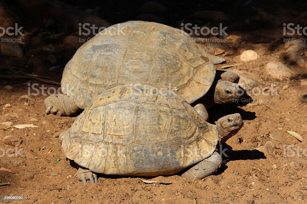 Turtles, royalty-free stock photo