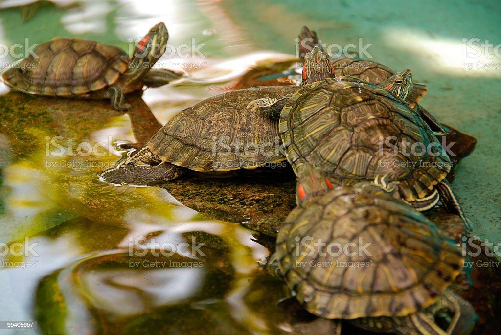 Schildkröten Lizenzfreies stock-foto