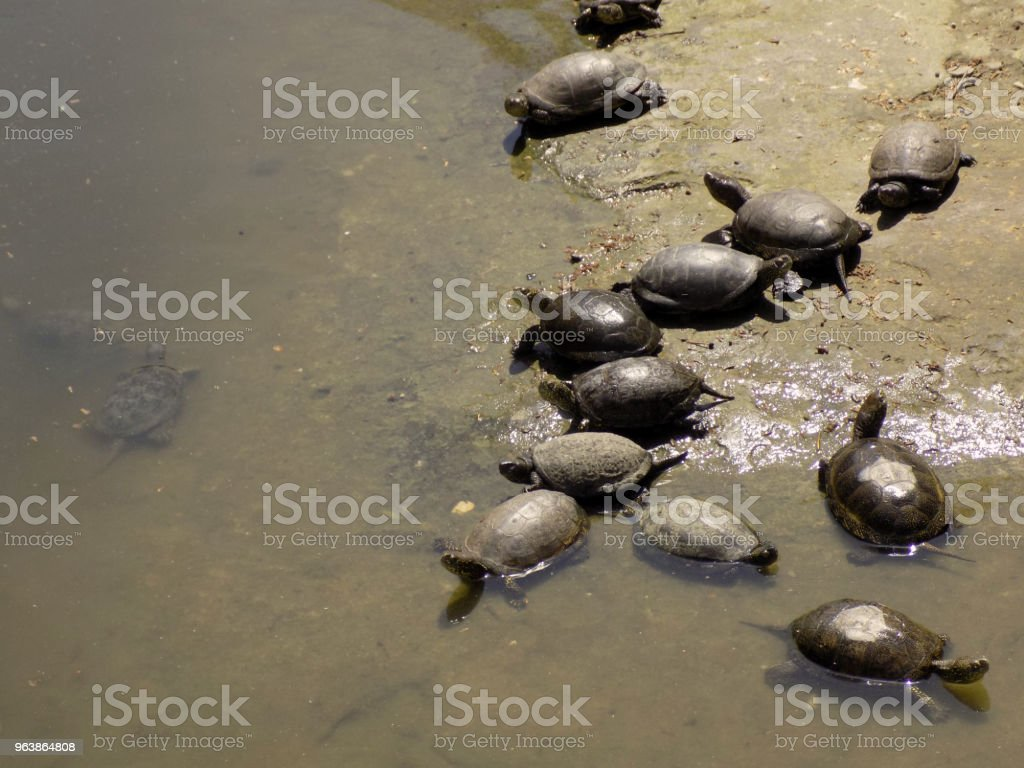 Turtles resting on the muddy coast - Royalty-free Amphibian Stock Photo