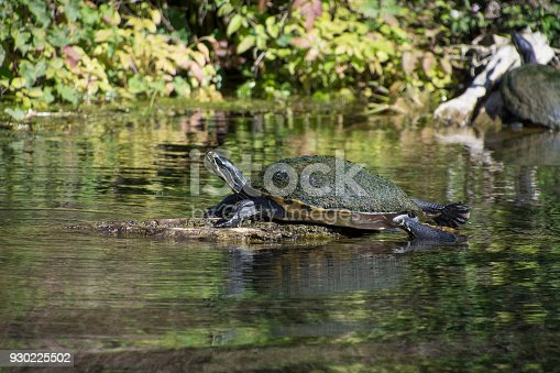 Turtle resting on a rock at Silver Springs State Park. Silver Springs is one of Florida's most treasured landscapes. As one of the largest artesian springs ever discovered, people have long been captured by the springs' natural beauty and vibrant clarity. Ocala, Florida. Gulf Coast States.