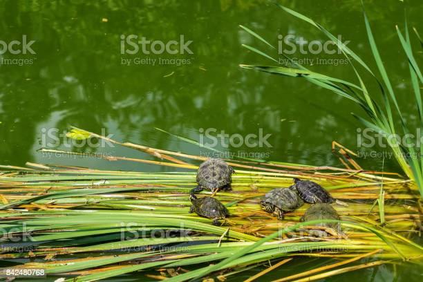 Turtles siesta in botanical garden cluj napoca romania picture id842480768?b=1&k=6&m=842480768&s=612x612&h=wqezctfrdar0hjbauslllhgeglqbxdq6zz3vispynsw=