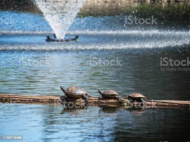 Turtles sunning in the public beacon hill park picture id1128719486?b=1&k=6&m=1128719486&s=612x612&h=d7vsq6kzqa5hijr 8ithjnre59l61eq8m dfhmwnxem=